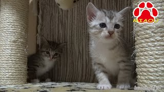 Download 野良兄弟子猫を保護した【瀬戸のしぴ・みみ日記】 Video