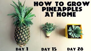 Download How to Grow Pineapples at Home Fast n Easy Video