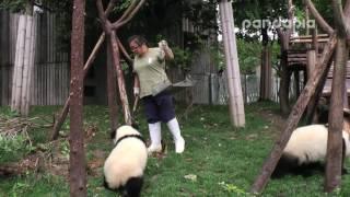 Download Panda breeder's poo-cleaning work. Video