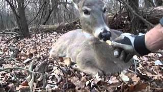 Download wild deer walk up Video