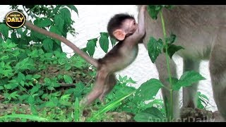 Download Baby Monkey Almost Fails Down to River....Angkor Daily 500 Video