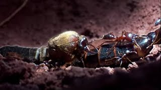 Download Queen Ant Mating Season | Ant Attack | BBC Earth Video