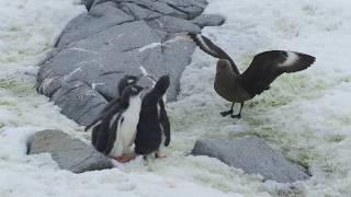 Download Crazy Wildlife Video: Skua Attacking Three Penguin Chicks at Port Lockroy Video