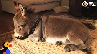 Download Tiny Donkey Thinks He's Actually A Dog | The Dodo Video
