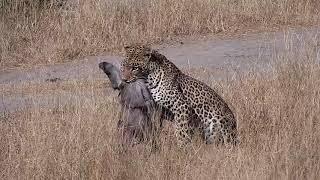 Download Djuma: Leopard-Hosana male makes a Warthog kill - 13:40 - 06/27/19 Video