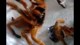Download New Molts with a Very Angry OBT Video