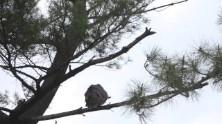 Download Female Great Horned Owl Looks For Cached Prey, Part 2, April 20, 2015 Video