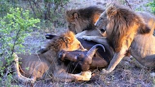 Download Male lions hunt and kill a buffalo (Majingilane males) Video
