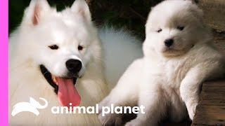 Download Fussy Samoyed Puppy Makes An Unlikely New Best Friend   Too Cute! Video