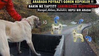 Download KANGAL POYRAZ'A KAFA TUTMANIN SONU BAKIN NE OLDU!!! (Kangal , Akbaş , Malaklı Hepsi Bir Arada) Video