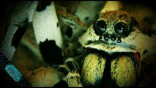 Download What is a Tarantula? Video