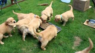 Download 2014 Golden Retriever Puppies - 5 Weeks Old Video