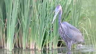Download Heron swallows massive catfish Video