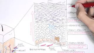 Download The Skin Anatomy, Physiology and Microbiology Video