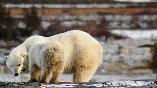 Download A Lucky Break for a Starving Polar Bear Mom and Her Cub Video