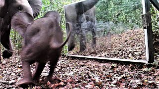 Download family of elephants is frightened by their reflection in a mirror and rushes to protect the baby Video