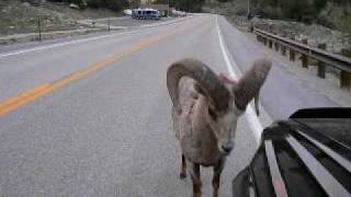 Download INSANE! WAIT FOR IT AT 1:21 Bighorn RAM NAILS Toyota 4Runner : ″RAMbunctious″ Video