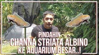 Download PINDAHIN CHANNA STRIATA ALBINO KE AQUARIUM BARU..! Video