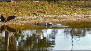 Download SWFL Eagles ~ AWESOME M15 ~ Flight To Pond To Join Harriet Taking A Bath! CLOSEUPS & SLOMO! 12.4.19 Video