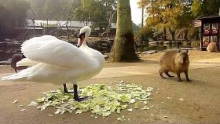 Download カピバラの「白鳥が強すぎる件」 Video