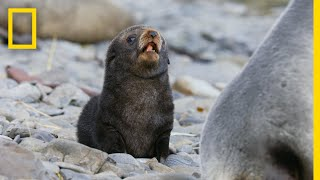 Download Fur Seals Overcome Extinction On 'Resurrection Island' – Ep. 1 | Wildlife: Resurrection Island Video