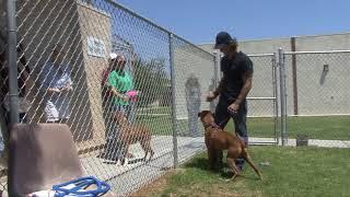 Download Severe Dog to Dog Aggression Boxer Ventura Video