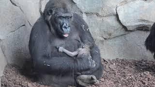 Download Bebé recién nacido en la familia de gorilas de BIOPARC Valencia Video