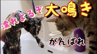 Download 【子猫】保護した日ぶり2回目のシャンプーに大暴れ Video