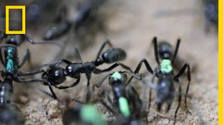 Download Self-Sacrificing Ants Refuse Treatment of Their Wounds | National Geographic Video