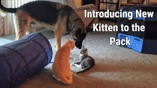 Download Introducing New Kitten to the Pack Video