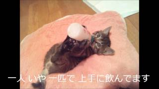 Download 子猫 ミルク飲み 1ヵ月で達人に成長 Video