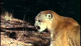 Download Black Bear VS Mountain Lion | Part 1 Video