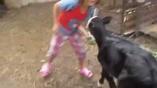 Download Kids playing with a little baby cow Video