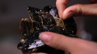 Download Mussels inspire surgical glue invention Video