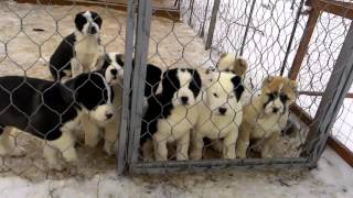 Download Щенки среднеазиатской овчарки(алабай),8 недель Video