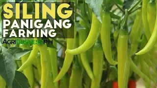 Download How to Grow Green Chili or Siling Panigang | Agribusiness Philippines Video