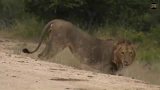 Download SouthAfricaDjChiPMsafariLIVE 22 Mar 2018 Three Avoca male lions and ellies Video
