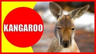 Download Kangaroo for Kids - Facts and Information about Kangaroos for Children, Kangaroo Videos | Kiddopedia Video