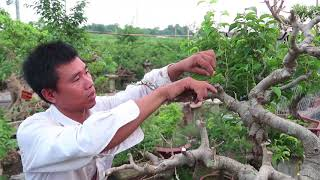 Download Cắt lọc cây sanh quê ôm đá hình rùa Video