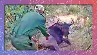 Download Wildebeest Freed From Poaching Snare Video