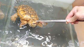 Download 물리면 손가락도 자른다는 거북이.. 그 살벌한 미꾸라지식사 Video