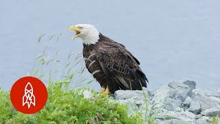 Download The Alaskan Town FULL of Bald Eagles Video