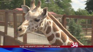 Download Tajiri the giraffe leaving Animal Adventure Park Video