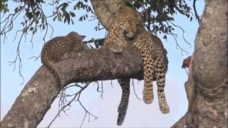 Download Safari Live : Thandi Female Leopard and her young Cub this morning on drive Jan 26, 2018 Video