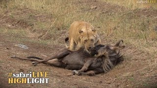 Download Migration madness - Lions kill 4 Wildebeest! Video