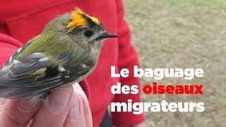 Download Le baguage des oiseaux migrateurs Video