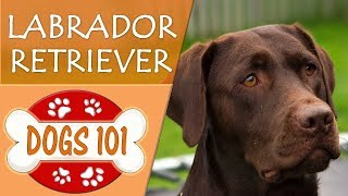 Download Dogs 101 - LABRADOR RETRIEVER - Top Dog Facts About LAB Breeds Video