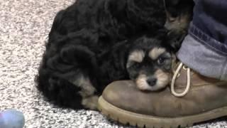 Download Cockapoo & Cavapoo Puppies for Sale Video