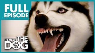 Download The Demon Husky: Diesel | Full Episode | It's Me or The Dog Video