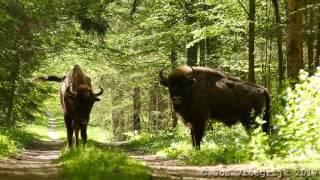 Download Bison bonasus, Wisent, Eurpean bison, Zubr Video